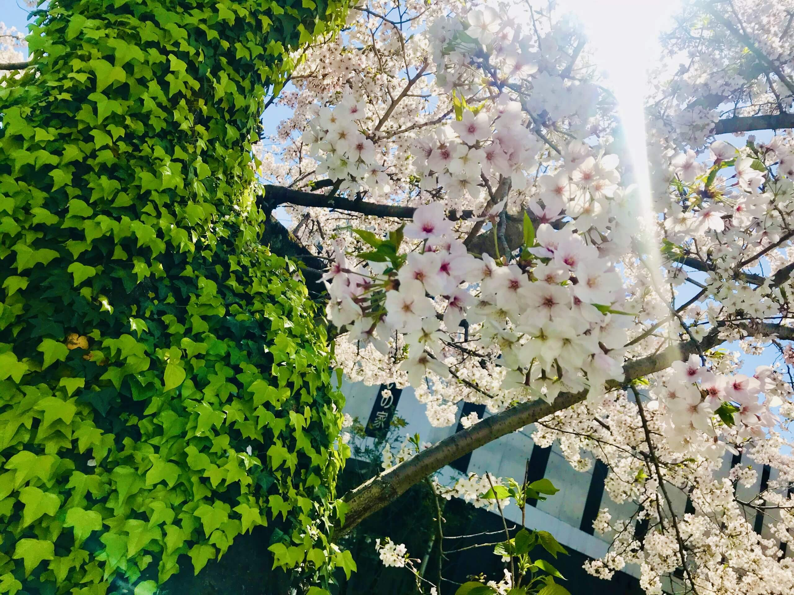 Cherry blossoms and green 2021